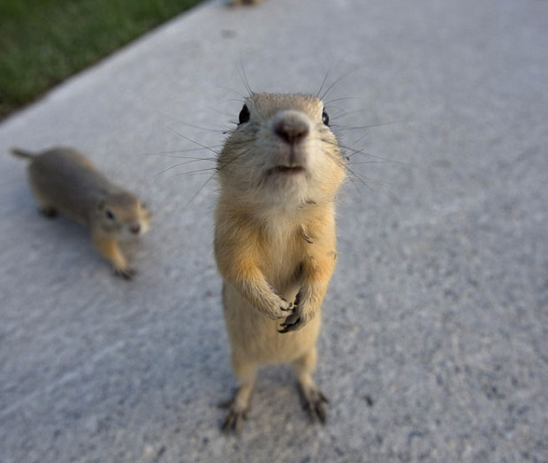 Gophers line city sidewalks after their homes were flooded in the East Village area of Calgary